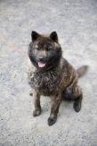 Un jeune chien Akita à la robe commando est attaché à sa niche. « C'est une femelle » me dit Naoto. Elle porte le nom de la chienne qu'on lui a volé en 2013, Aki.